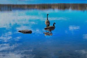 hermosos patos canadienses