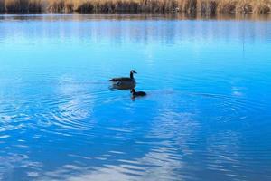 Pato canadiense y pájaro gallinule en el lago