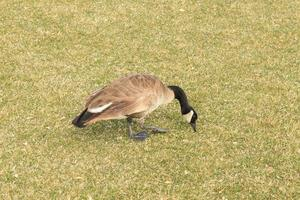 pato canadiense hambriento