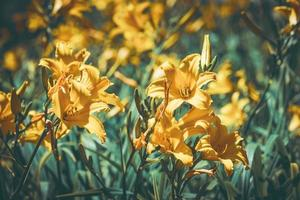 flores amarillas y capullos de azucena foto