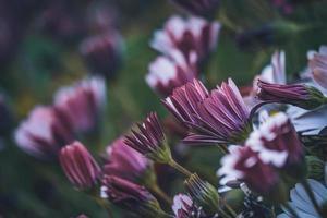 flores moradas y rosadas de margarita africana foto