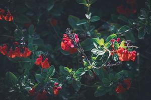 flores rojas en arbusto foto