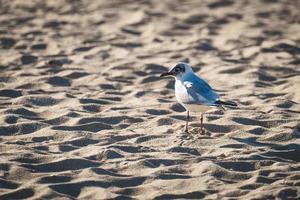 Gaviota mediterránea en la arena de la playa foto