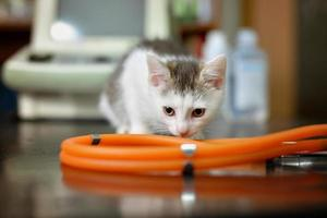 White kitten with a stethoscope in a veterinary office