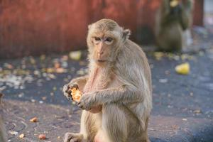 Crab-eating macaque eating fruit in Lop Buri, Thailand