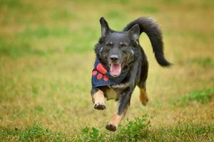 German shepherd with a scarf and a red paw running across a green field