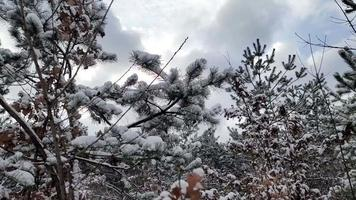 neve no fundo de galhos de pinheiros video