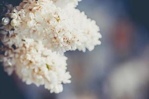 primer plano lila blanco