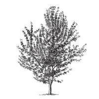 ilustraciones vintage de cerezo vector