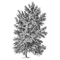 Fresno con hojas de arce ilustraciones vintage vector