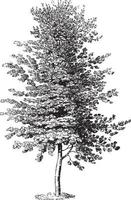 Beech Tree Vintage Illustrations
