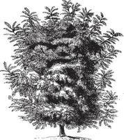 Butternut Tree Vintage Illustrations