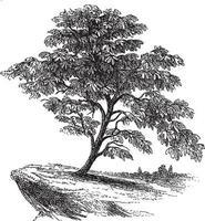 Fig Tree Vintage Illustrations