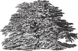 Cedar of Lebanon Tree Vintage Illustrations vector
