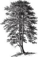 Holly Tree Vintage Illustrations vector