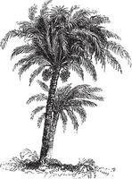 Date Palm Tree Vintage Illustrations vector