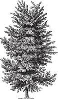 Elm Tree Vintage Illustrations