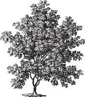 Magnolia Tree Vintage Illustrations