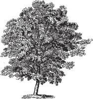 Hornbeam Tree Vintage Illustrations