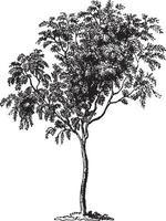 Mountain Ash Tree Vintage Illustrations