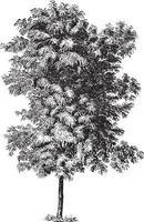 Robinia Pseudoacacia Tree Vintage Illustrations