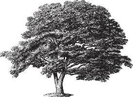 Japan Sophora Tree Vintage Illustrations vector