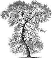 Black Poplar Tree Vintage Illustrations