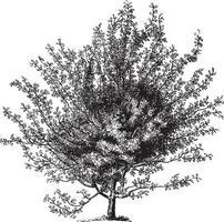 Scarlet Hawthorn Tree Vintage Illustrations