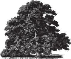 ilustraciones vintage de roble albar vector