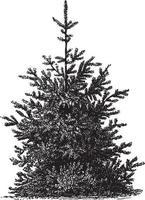 Himalayan Spruce Tree Vintage Illustrations vector