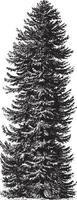 Spruce Tree Vintage Illustrations vector