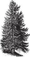 Black Spruce Tree Vintage Illustrations vector