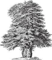 Yew Tree Vintage Illustrations vector