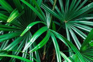 Green palm leaves photo