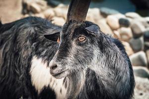 Portrait of cute black goat photo