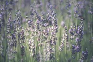 Lavender flowers with bees photo