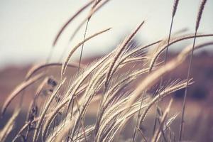 Wheat ear stems in natural backlit light
