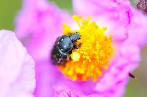 Black bug on a pink flower