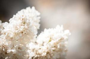 flores lilas florecientes foto