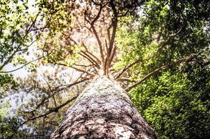 llamarada de sol a través del bosque de pinos