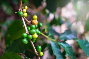 Coffee beans or cherries on a tree photo