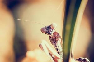 primer plano de mantis religiosa