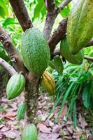 fruta de cacao en una rama de árbol