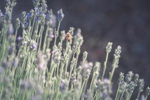 miel de abeja en flores de lavanda