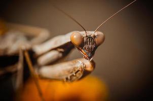 retrato de la mantis religiosa foto