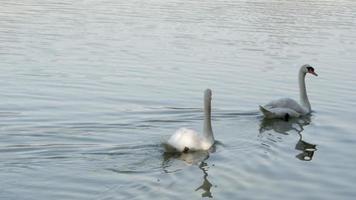 Dos cisnes blancos nadando en un lago en un día brillante video