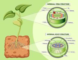 Diagram showing stem and root structure vector