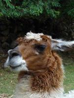 Close-up of an alpaca photo