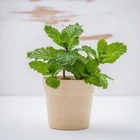 planta de menta en maceta foto