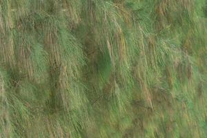 Leaf pine tree